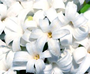 497334_hyacinth.jpg