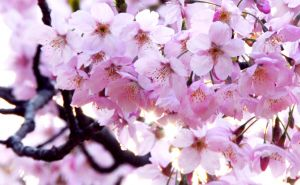 496089_japanese_cherry_blossoms.jpg