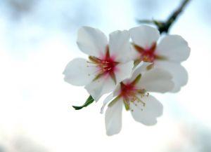 733004_almond_tree_flowers.jpg